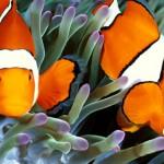 El pez payaso… ¡es el más divertido del Océano!