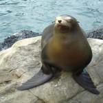 ¿Sabías que las focas son grandes nadadoras?