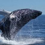 ¿Cuántas especies de ballenas existen?
